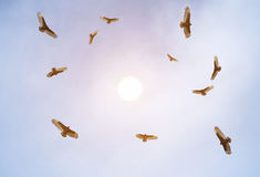 Turkey vultures soaring Royalty Free Stock Images