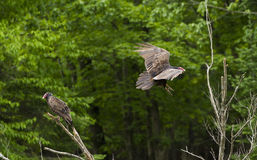 Turkey vultures in spring Stock Photos