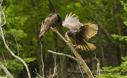 Turkey vultures Stock Photos