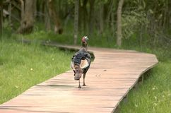 Turkey Walking Stock Images