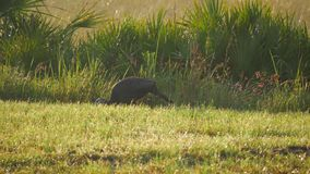 Turkey Walking Along FIeld Edge, Wide, 4K. A turkey walks in the grass searching for food in the early morning sun stock footage