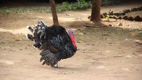 Turkey walking stock video footage
