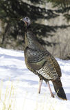 Turkey walking into forest Stock Images
