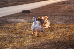 The turkey is walking outdoors. Most bird turkey walking outdoors in spring Stock Images