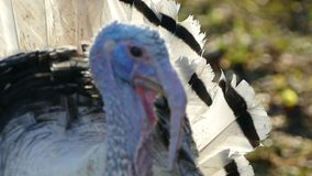 The turkey walks in the bird`s yard. Live beautiful turkey. Turkey for the holiday. Full HD stock footage