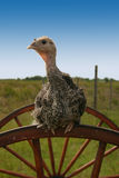Turkey on Wheel. Baby Turkey sitting ontop of a wheel with blue sky in the background royalty free stock photography