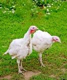 Turkey white on grass background Stock Photography