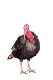 Turkey on white Royalty Free Stock Photos