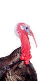 Turkey on white Stock Photography