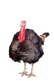 Turkey on white Stock Images