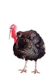 Turkey on white Royalty Free Stock Photo