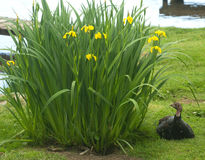 Turkey beside yellow irises. Stock Image