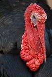 Turkeycock zwarte voorgrond Stock Afbeelding