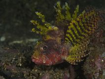 Turkeyfish coralinos de Shortfin de los pescados imagen de archivo libre de regalías