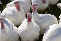 Turkeys stock photo
