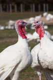Turkeys. Two farm turkeys in what appears to be a animated exchange of ideas Stock Photography
