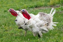 Turkeys Stock Photos