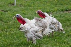 Turkeys Stock Photo