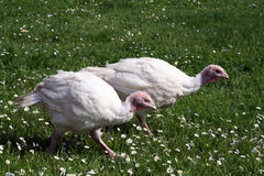 Turkeys. A small turkeys are walking along a garden full of daisies Stock Images