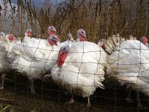 Turkeys. At a turkey farm just before Thanksgiving Royalty Free Stock Images
