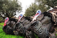 Turkeys Stock Photos