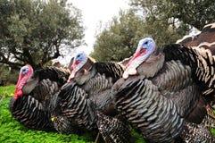 Turkeys. Free range turkeys on grass with olive trees background Stock Photos