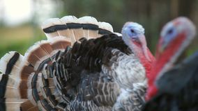 Turkeys in the barnyard. Turkeys are walking in a rural farmyard. Poultry in the village stock video footage