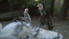 Turkeys in the barnyard. Turkeys are walking in a rural farmyard. Poultry in the village stock video