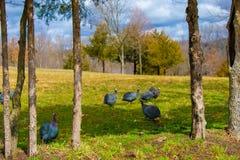 Turkeys in farm field royalty free stock photos