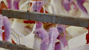 Turkeys for fattening. Premises at poultry farm for growing broiler turkeys stock video