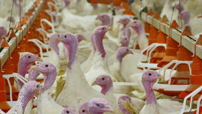Turkeys in feeding pens stock footage