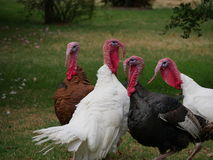 Turkeys in field Royalty Free Stock Images