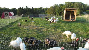 Turkeys in a Field. Turkeys feeding in a grassy field stock footage