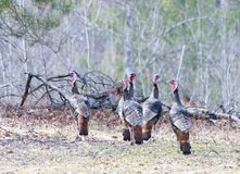 Turkeys. Five turkeys standing at the forests edge Royalty Free Stock Photography