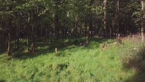 Turkeys In Forest Clearing 4k. Six female wild turkeys in the countryside oak forest in martinborough search for food and hide from hunters stock footage