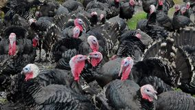 Turkeys on free range farm. Flock of turkeys searching for food on green field. Domestic male turkey, close up. Turkey Tom with co