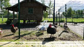 Turkeys with geese walking around a fenced area.  stock footage