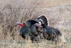 Turkeys Gobbling Stock Photo