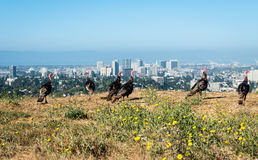 Turkeys grazing on the hills with downtown Oakland on Background Royalty Free Stock Image