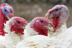 Turkeys Royalty Free Stock Photo