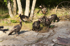 Turkeys in a group. Royalty Free Stock Photo