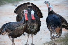 4 turkeys hanging out Royalty Free Stock Photography
