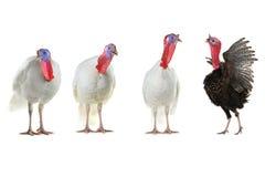 Turkeys Stock Image
