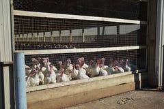 Turkeys. Large white turkeys in a farm building Stock Photos