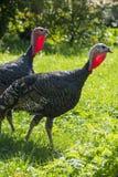 Turkeys Meleagris gallopavo f. domestica Royalty Free Stock Images
