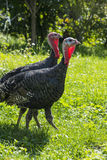Turkeys Meleagris gallopavo f. domestica Stock Images