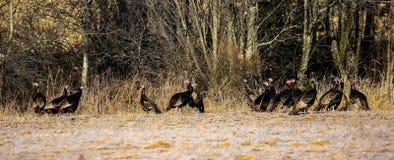 Turkeys in November Frost. Wild turkeys in a frosty Wisconsin field Stock Photo