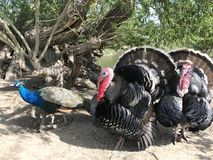 Turkeys. And a peacock Royalty Free Stock Images