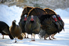 Turkeys in the Snow. Turkey Strut after Snow Storm Royalty Free Stock Image
