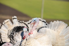 Turkeys spreading feathers to ward off potential aggression, in Royalty Free Stock Image